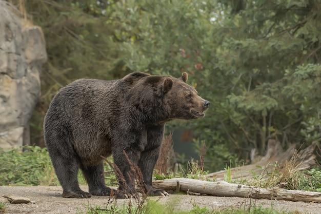 Colpo del primo piano di un orso grizzly sorridente con una foresta sfocata Foto Gratuite