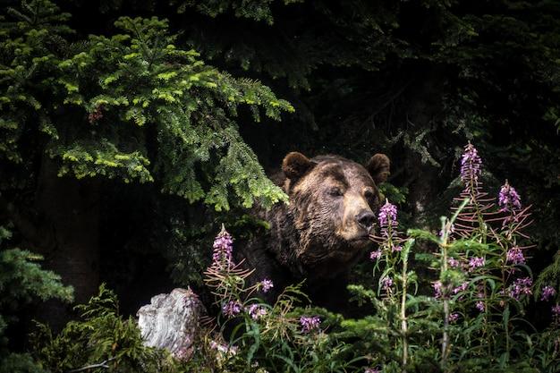 Colpo del primo piano di un orso grizzly in piedi tra gli alberi a grouse mountain a vancouver, canada Foto Gratuite