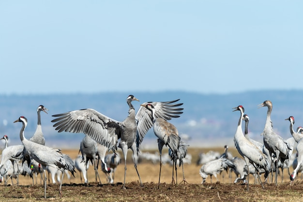 Closeup shot of a group of cranes in the field Free Photo