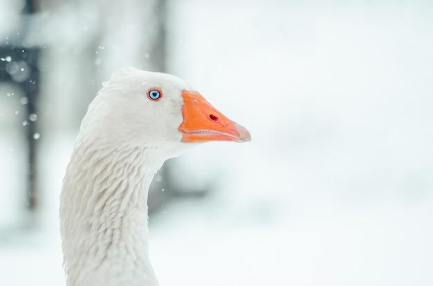 Colpo del primo piano della testa di un'oca carina con il fiocco di neve sfocato sullo sfondo Foto Gratuite