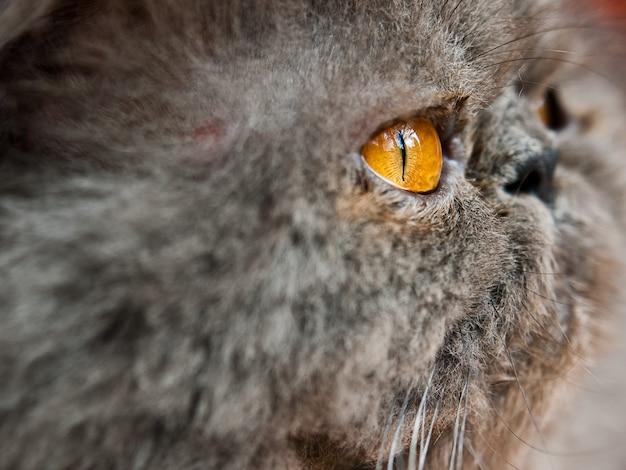 Colpo del primo piano della testa di un gatto grigio Foto Gratuite