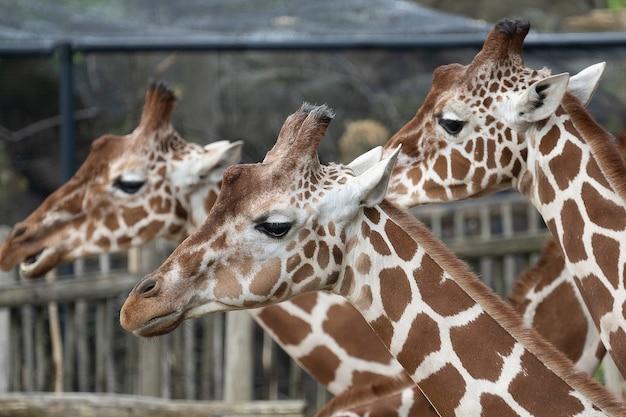 Colpo del primo piano delle teste di tre giraffe una accanto all'altra Foto Gratuite