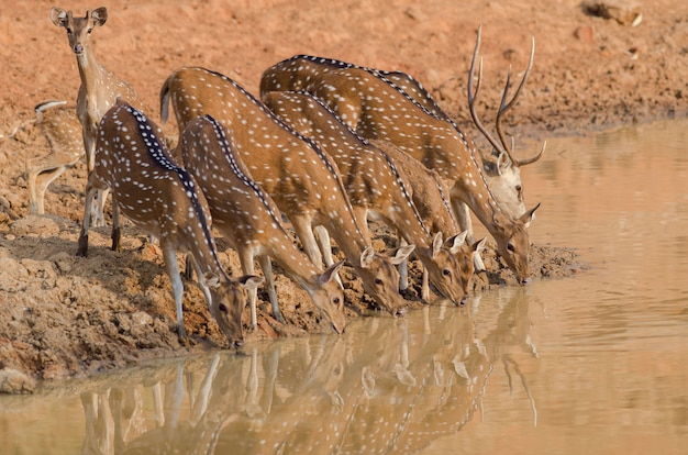 Closeup shot of a herd of beautiful deer drinking water from the lake Free Photo
