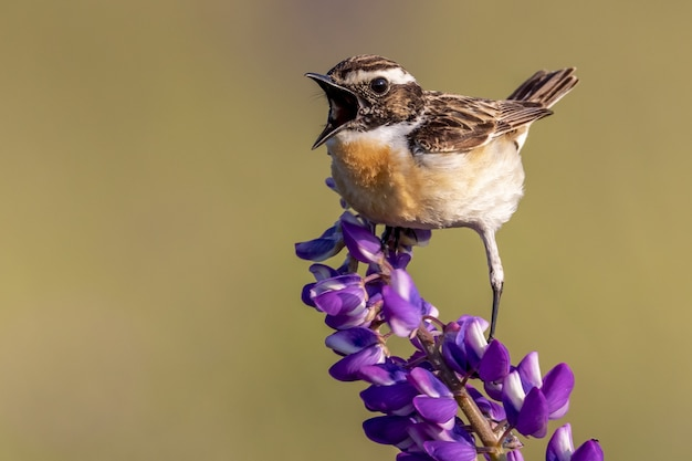 Colpo del primo piano di un uccello del passero domestico appollaiato su un fiore viola-petaled Foto Gratuite