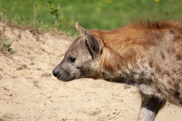 Colpo del primo piano di una iena nel deserto sotto la luce del sole Foto Gratuite