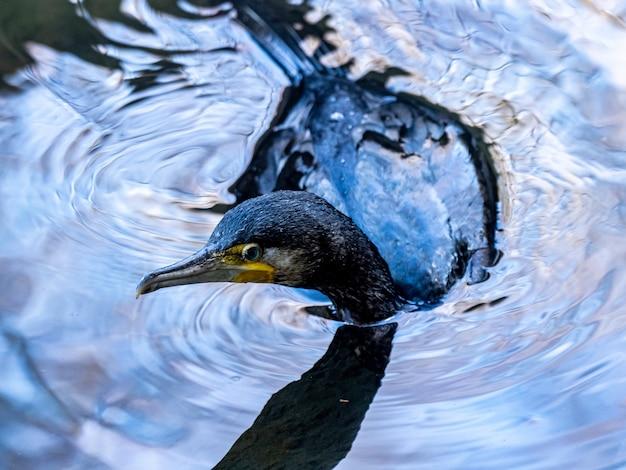 Colpo del primo piano del cormorano giapponese nuotare sul lago nella foresta di izumi a yamato, in giappone durante il giorno Foto Gratuite