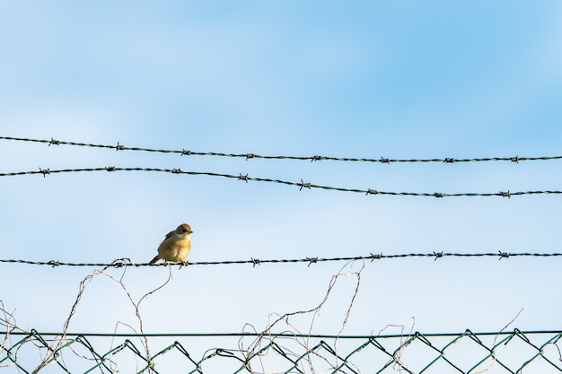 Colpo del primo piano di un uccellino giallo seduto sui fili spinati Foto Gratuite