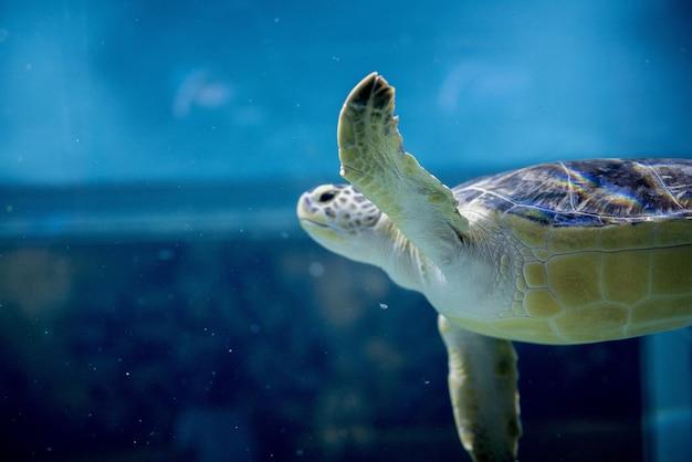Closeup shot of a loggerhead sea turtle underwater Free Photo
