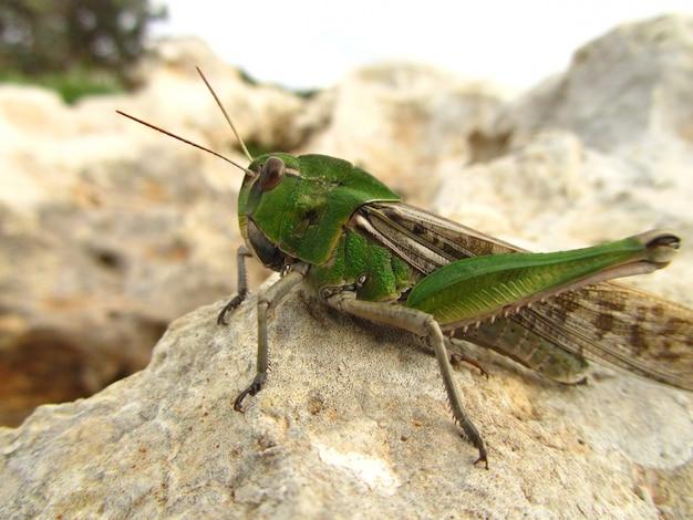 Closeup shot of a migratory locust on a rock  under the sun Free Photo