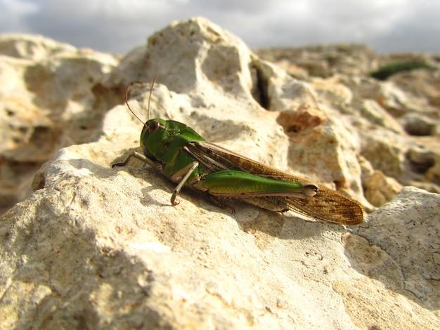 Colpo del primo piano di una locusta migratoria su una roccia sotto il sole Foto Gratuite