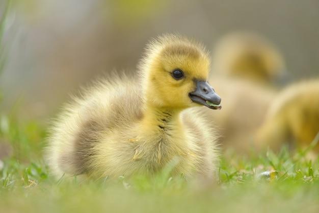 草の上の赤ちゃんカナダガチョウのクローズアップショット 無料写真