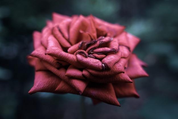 ぼやけた背景と美しい咲いたピンクのバラのクローズアップショット 無料写真