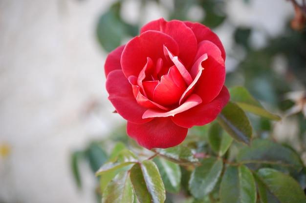 美しい咲いた赤い庭のバラのクローズアップショット 無料写真
