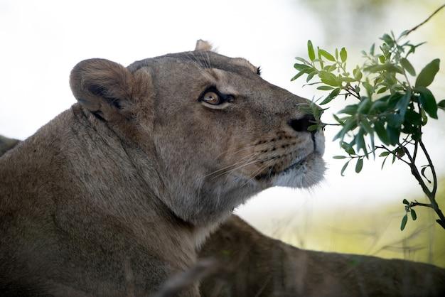 Снимок крупным планом красивой женщины-льва Бесплатные Фотографии