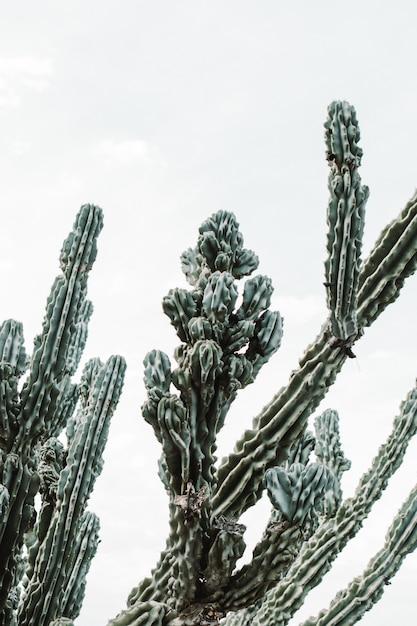 長い先端のとがった枝とそれらに咲く果実の美しい大きなサボテンの木のクローズアップショット 無料写真