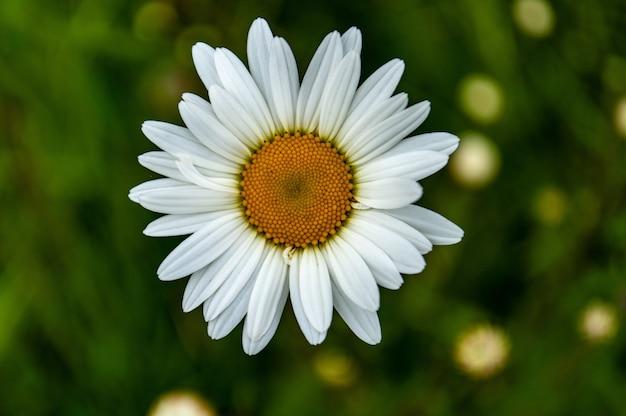 아름다운 Oxeye 데이지 꽃의 근접 촬영 샷 무료 사진