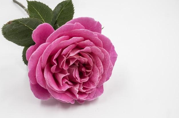 白い距離に分離された水滴と美しいピンクのバラのクローズアップショット 無料写真