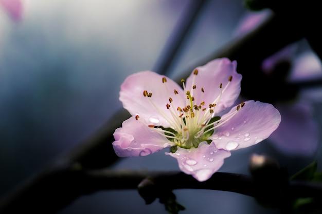 Снимок крупным планом красивой фиолетовой китайской сакуры Бесплатные Фотографии