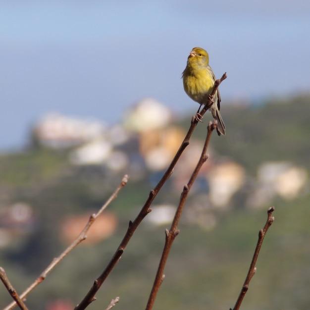 Съемка крупного плана красивой желтой канарейки сидя на ветви Бесплатные Фотографии