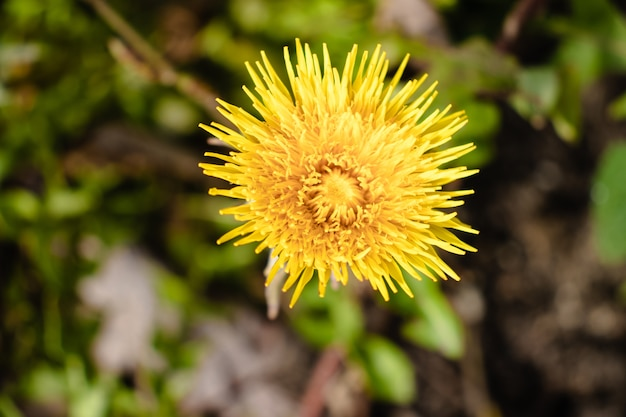 美しい黄色のタンポポの花のクローズアップショット 無料写真