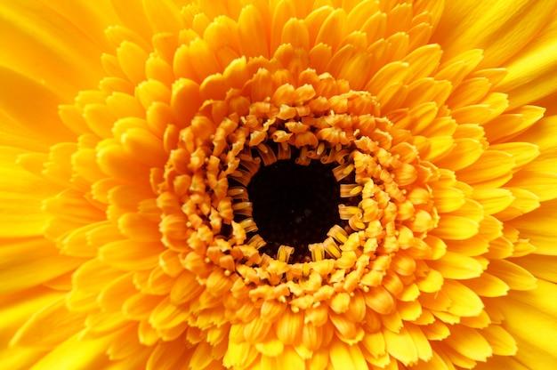 美しい黄色の花びらのアフリカのデイジーの花のクローズアップショット 無料写真