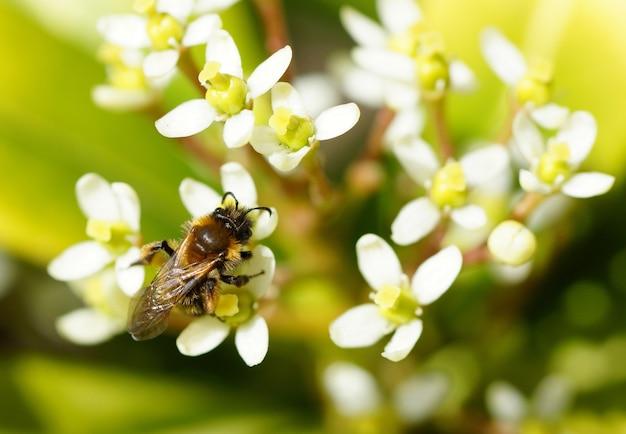 いくつかの白い花に蜂のクローズアップショット 無料写真