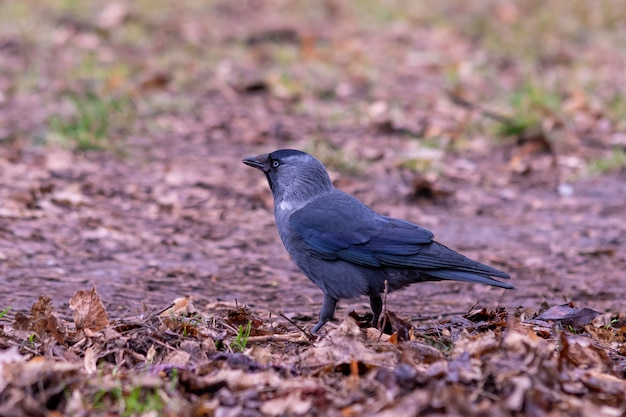 Крупным планом выстрел черной вороны, стоящей на земле Бесплатные Фотографии