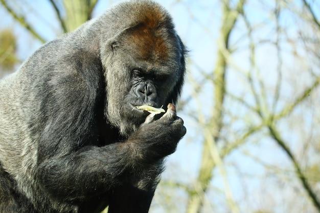 나무에 둘러싸인 음식을 먹는 검은 고릴라의 근접 촬영 샷 무료 사진