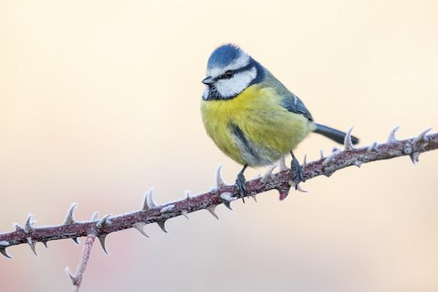 푸른 가슴 Cyanistes Caeruleus의 근접 촬영 샷 지점에 자리 잡고 무료 사진