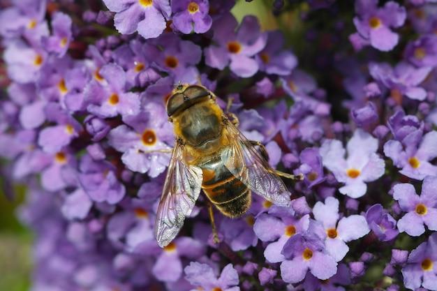 ライラックの花に座っているマルハナバチのクローズアップショット 無料写真
