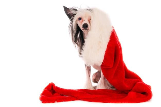 흰색 배경에 고립 된 크리스마스 장식 모자와 귀여운 중국어 볏 강아지의 근접 촬영 샷 무료 사진