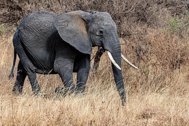 Снимок крупным планом милого слона, идущего по сухой траве в пустыне Бесплатные Фотографии