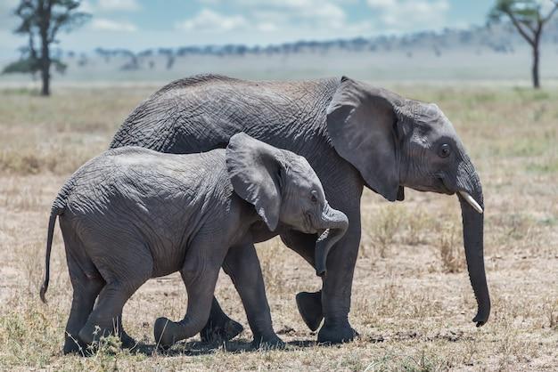 Снимок крупным планом милого слона, идущего по сухой траве со своим детенышем в пустыне Бесплатные Фотографии