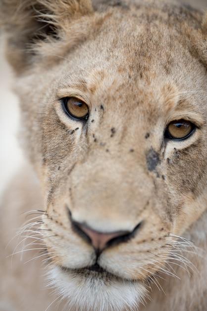 かわいいライオンの子のクローズアップショット 無料写真