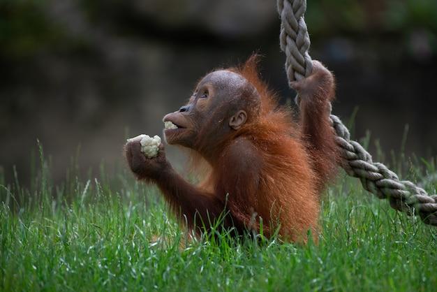 Съемка крупного плана милого орангутана держа еду и играя с веревочкой в лесе Бесплатные Фотографии