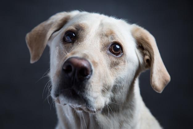 Макрофотография выстрел из милой белой собаки-компаньона с добрыми глазами на темноте Бесплатные Фотографии