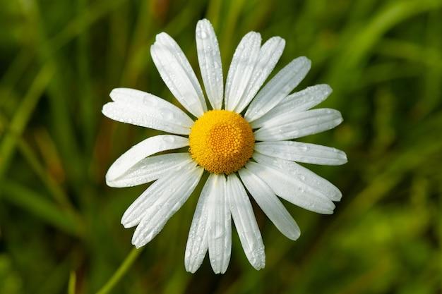ぼやけたデイジーの花のクローズアップショット 無料写真