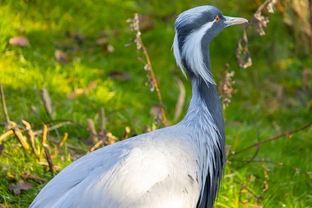 目の隅から垂れ下がっている縞模様の白い羽を持つアネハヅルのクローズアップショット 無料写真