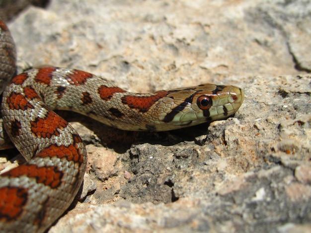 岩の上を這うヨーロッパのネズミヘビのクローズアップショット 無料写真