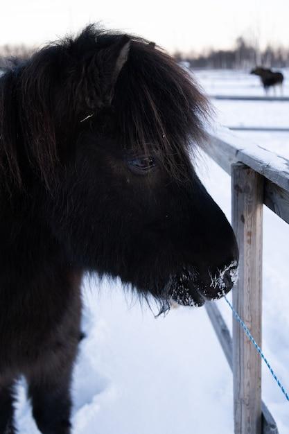スウェーデン北部の雪に覆われた田園地帯を散歩している家畜のクローズアップショット 無料写真