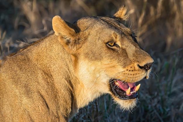 雌ライオンのクローズアップショット 無料写真