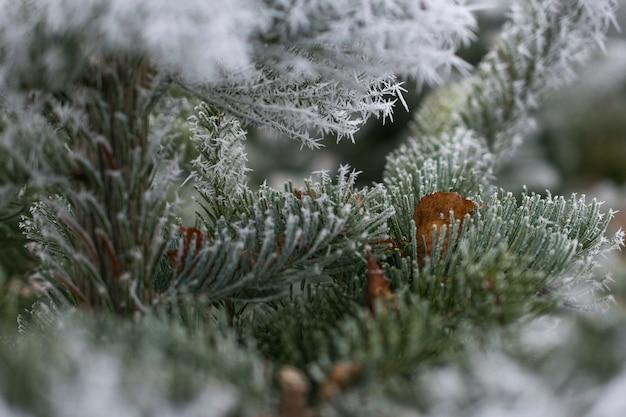 雪で覆われたモミの木の枝のクローズアップショット 無料写真