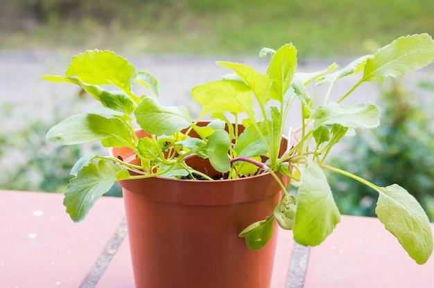 갈색 플라스틱 냄비에 신선한 녹색 무 식물의 근접 촬영 샷 무료 사진