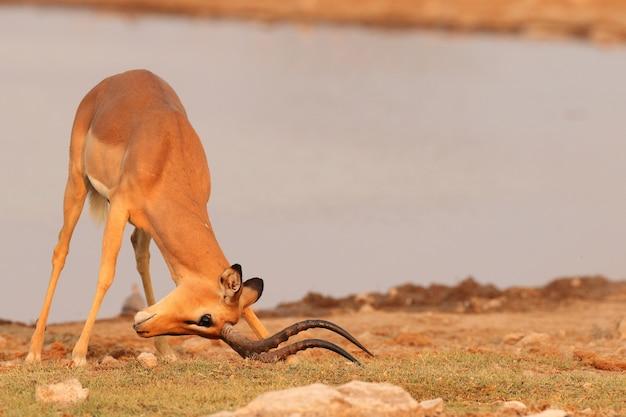 Крупным планом выстрелил газель с головой к земле у широкой реки в намибии Бесплатные Фотографии