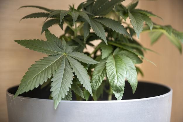 白い鍋に緑のマリファナの植物のクローズアップショット 無料写真