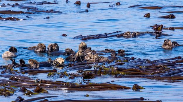 순수한 밝은 푸른 바다에서 수영하는 해달의 그룹의 근접 촬영 샷 무료 사진