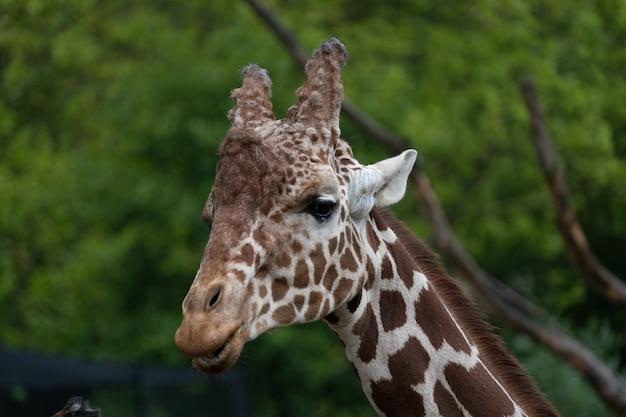 Снимок крупным планом головы жирафа, стоящего за деревьями Бесплатные Фотографии
