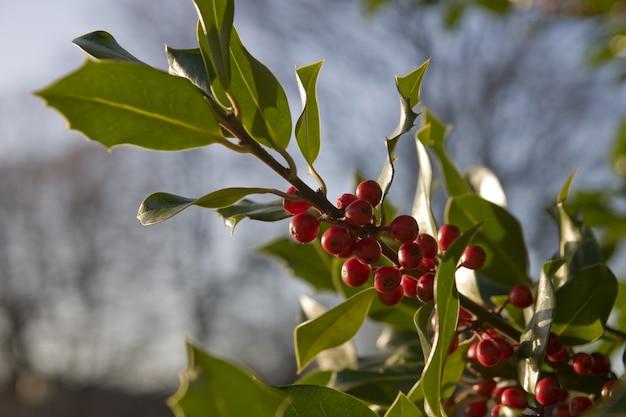 Съемка крупного плана ветви падуба с листьями Бесплатные Фотографии