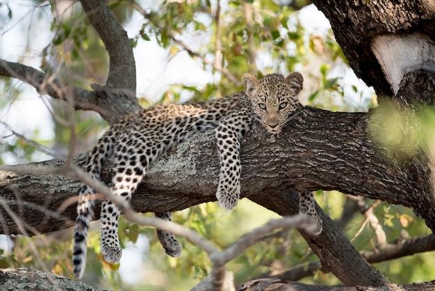 Снимок ленивого африканского леопарда на ветке дерева крупным планом Бесплатные Фотографии