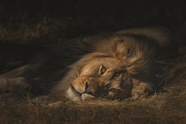 Съемка крупного плана льва кладя на сухое травянистое поле Бесплатные Фотографии